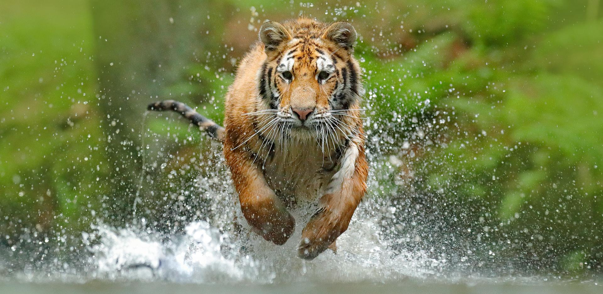 Big Cats, Tiger
