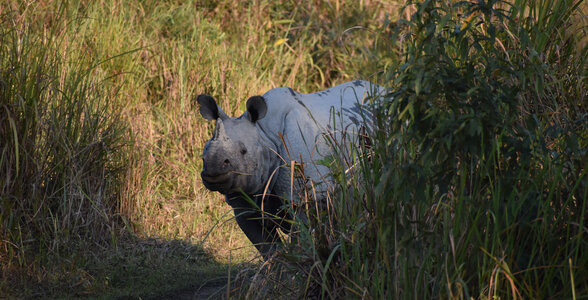 Rare One-Horned Rhinos in India