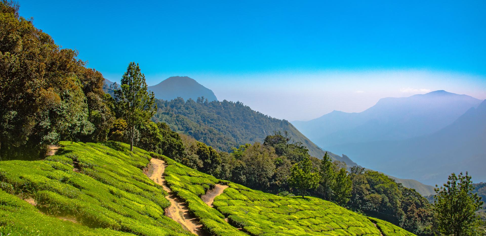 Tea Plantation Munnar, Kerala