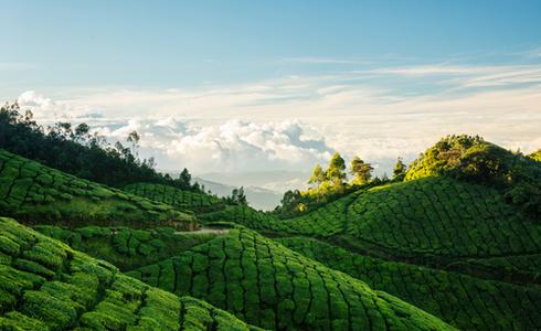 Kolukkumalai Tea Estates Munnar