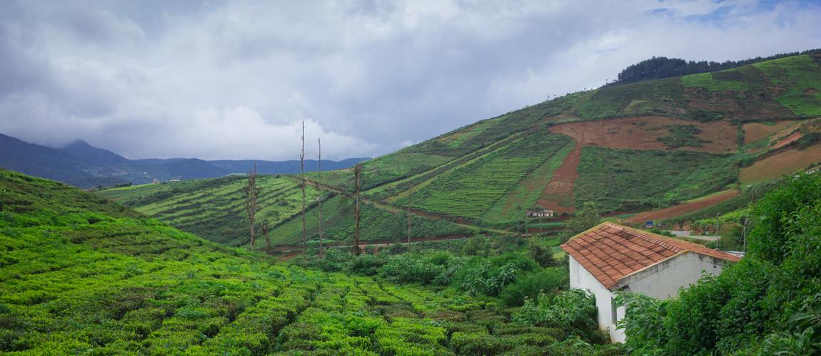 Tea Plantations at Coorg
