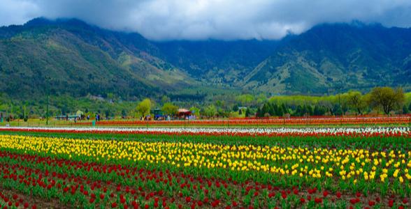 Tulip Garden at Srinagar